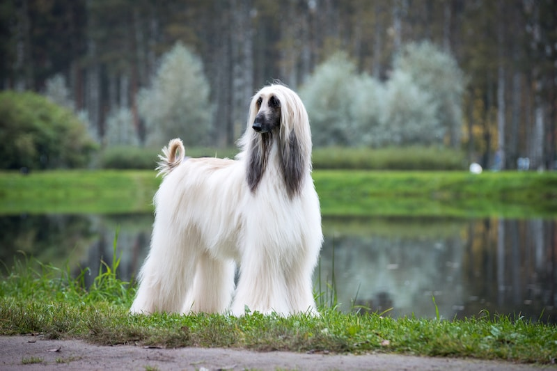 Beautiful pedigree Afghan hound standing with lake in the background.