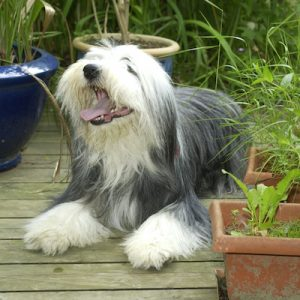 Bearded Collie dog sitting on timber deck surrounded by a beautiful garden.