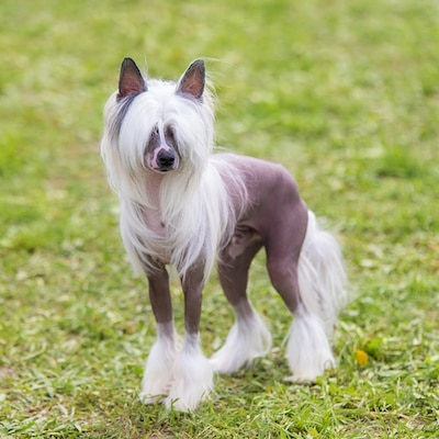 Chinese Crested hairless dog in the green park.