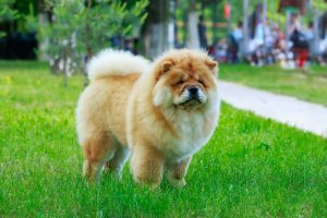 Chow Chow dog in park on green grass.