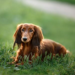 Dachshund dog breed laying on green grass in the park.