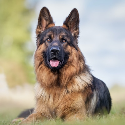 German Shepherd dog outdoors in the nature on a sunny day.