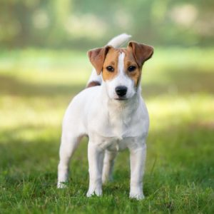 Jack Russell Terrier dog standing outdoors.