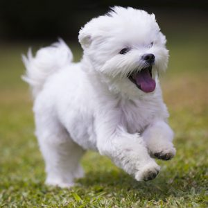 Maltese dog playing and running on green grass and plants background.