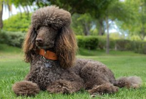 Brown Poodle dog laying on grass with trees in background.