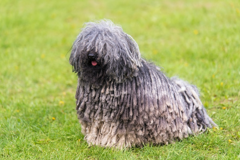 Gray Hungarian Puli Dog in the green park.