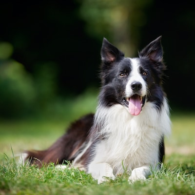 Border Collie with rough coat laying on green grass outdoors on a summer day.