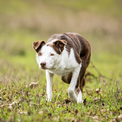 Border Collie with smooth coat herding on a farm in the crouching position.