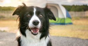Do Border Collies Shed Excessively