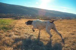 German Shorthaired Pointer hunting outdoors on beautiful sunny day.