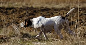 German Shorthaired Pointer Shedding – What You Need to Know About This Breed