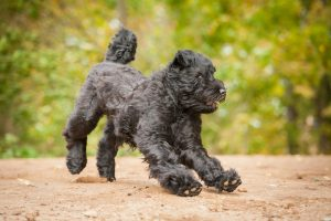 Black Russian Terrier running and playing in autumn.
