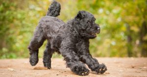 Do Black Russian Terriers Shed