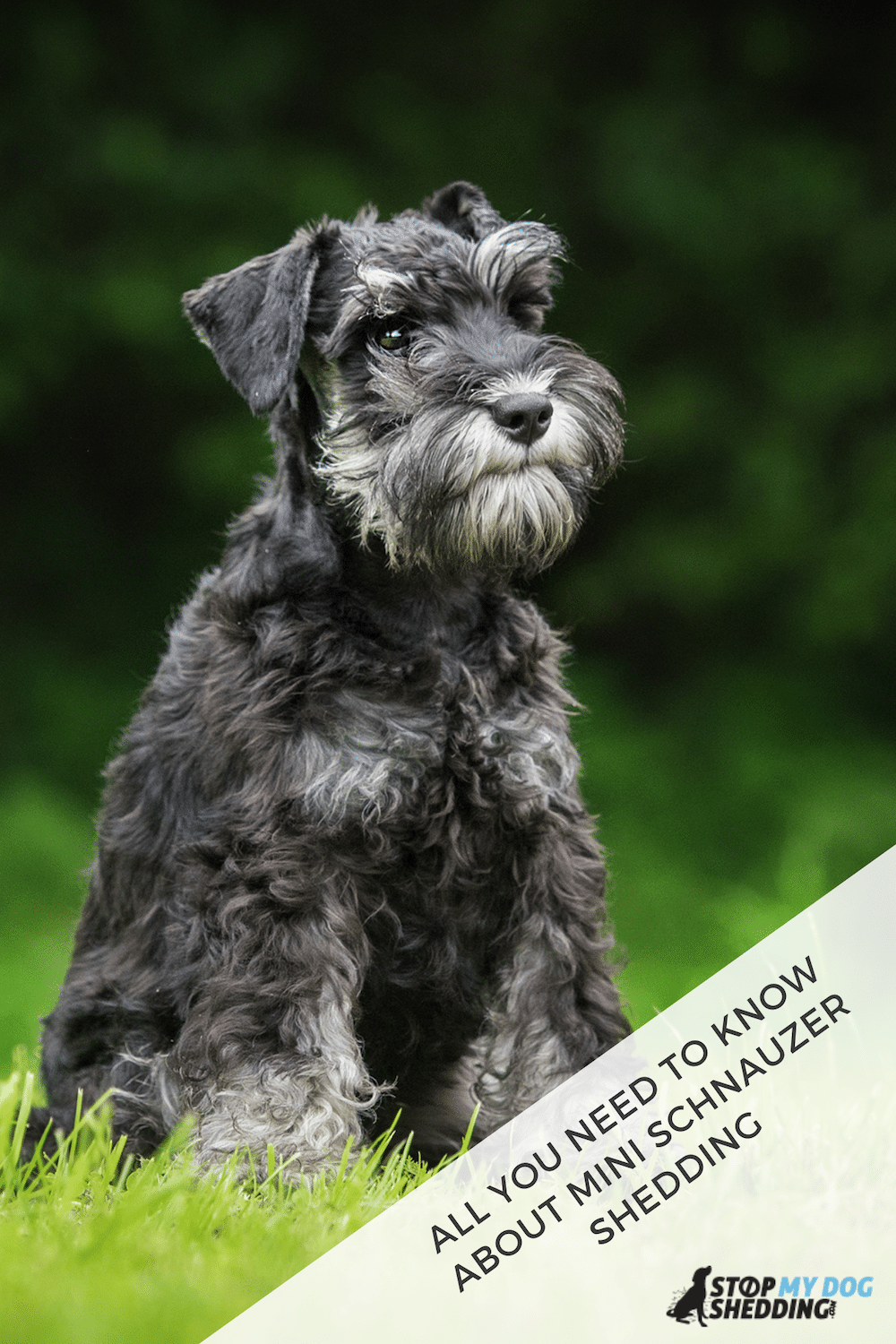 Do Miniature Schnauzers Shed? What You Should Know