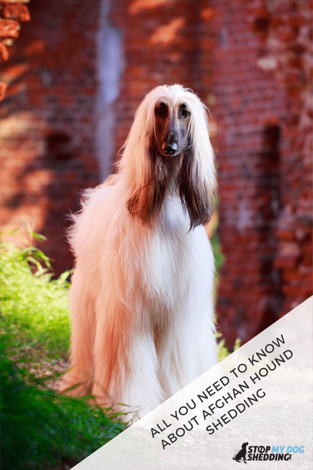Do Afghan Hounds Shed? What You Need to Know