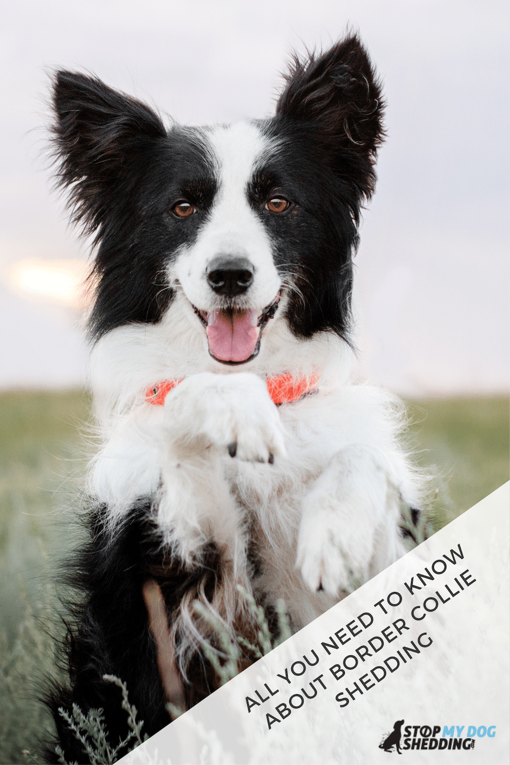 Do Border Collies Shed Excessively? (What You Need to Know)