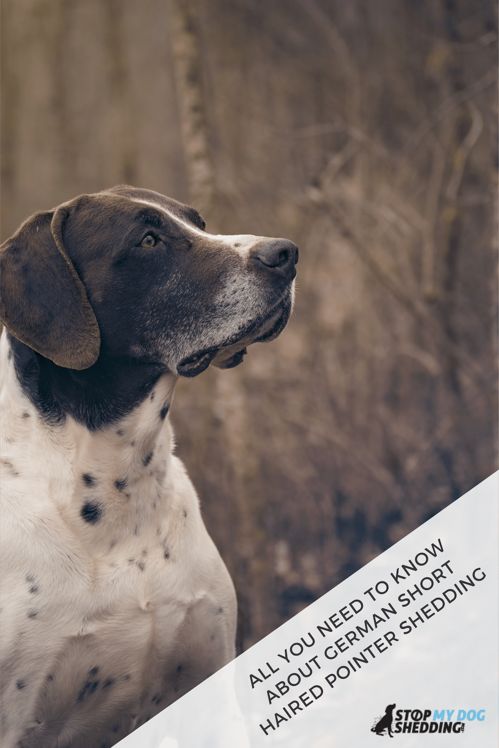German Shorthaired Pointer Shedding (All You Need to Know)