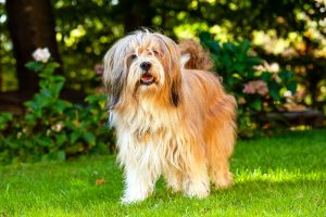 Beautiful Tibetan Terrier dog standing on a sunny grass with blurred flowers at the back.
