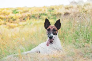 Fox Terrier resting on the grass outdoors smiling with tongue poking out.