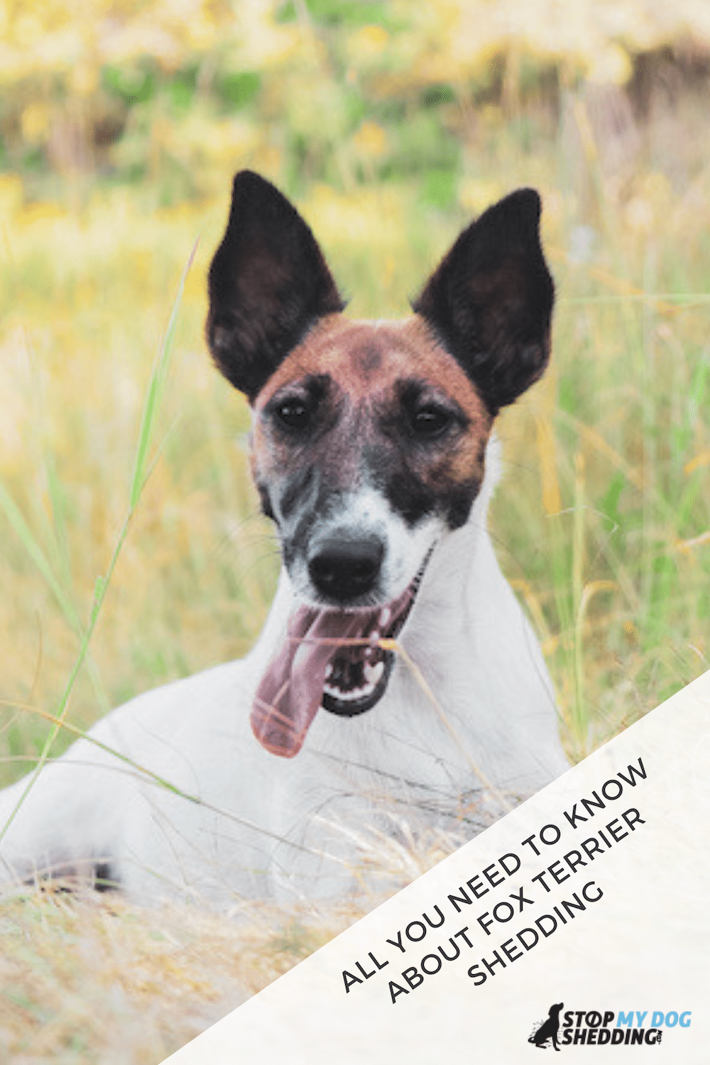 Do Fox Terriers Shed? (Yes, But Here's How to Stop It!)