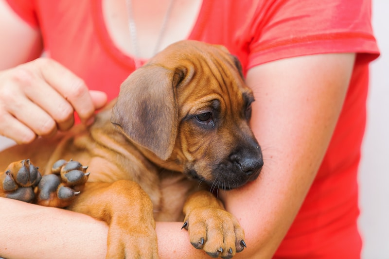 Woman holds a Rhodesian Ridgeback puppy in the hands