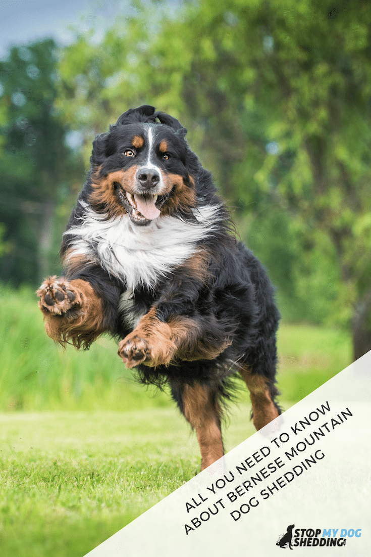 Do Bernese Mountain Dogs Shed?