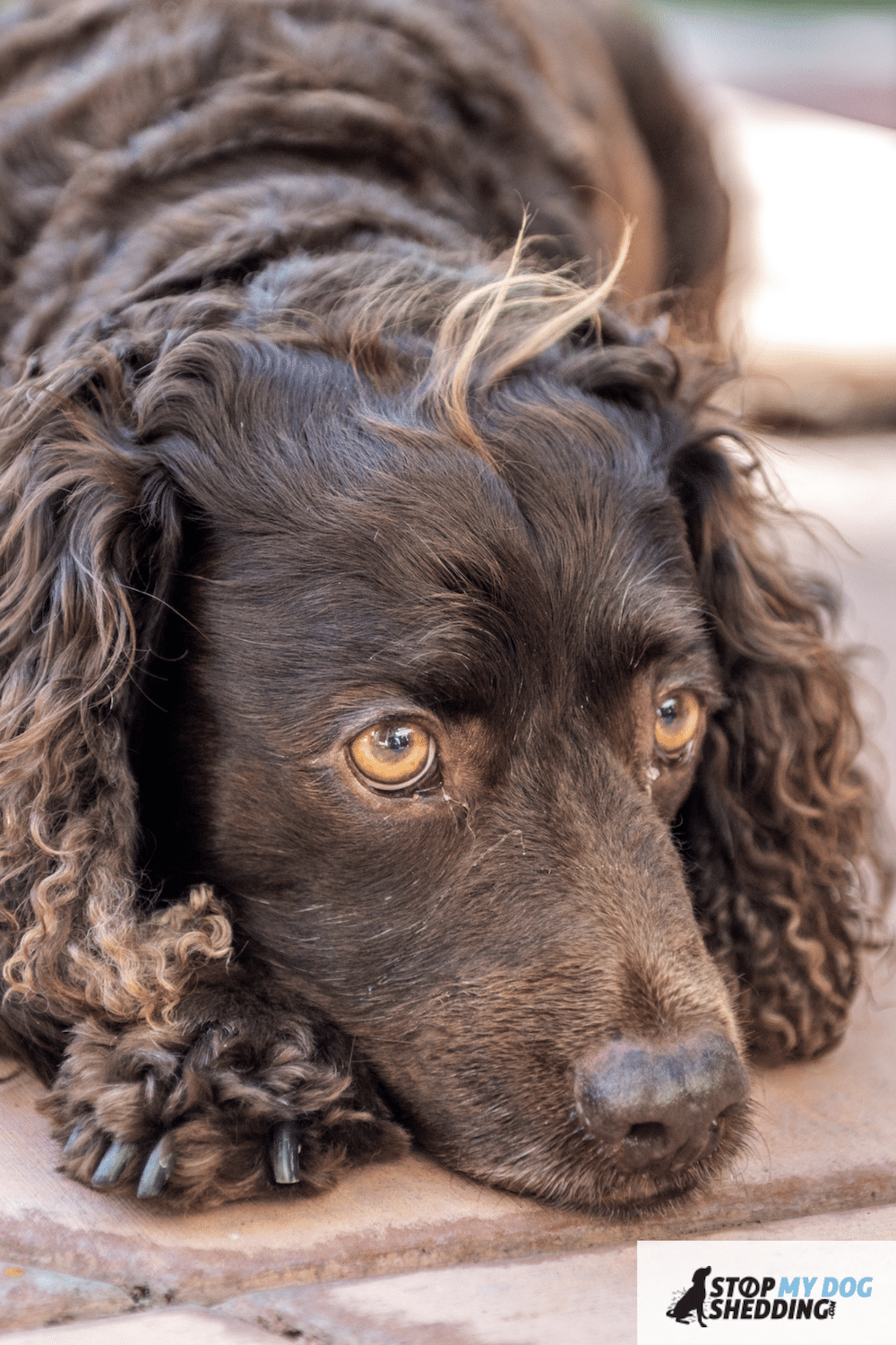 Do American Water Spaniels Shed?