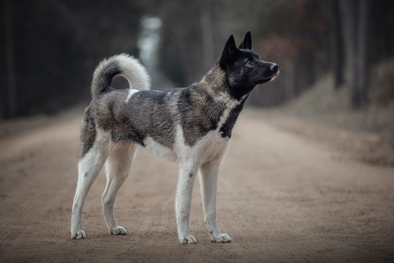 Young American Akita dog standing on the road in daytime in autumn
