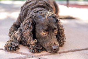 American Water Spaniel laying down resting.