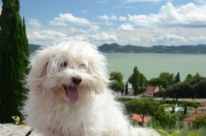 Bichon Bolgnese outside with scenic background.