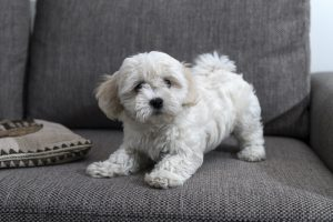 Bichon Bolognese puppy playing on sofa.