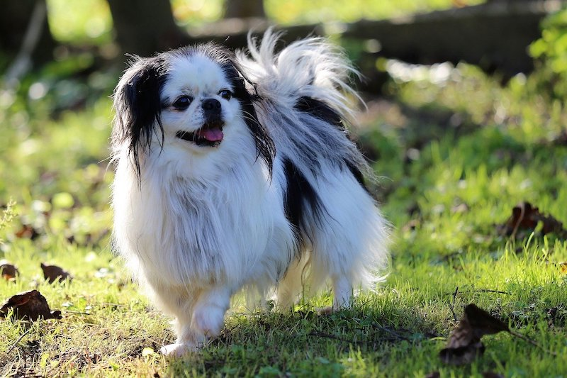Chin breed of dog standing in park with one leg up.