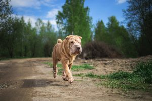 Chinese Shar-Pei walking on countryside road