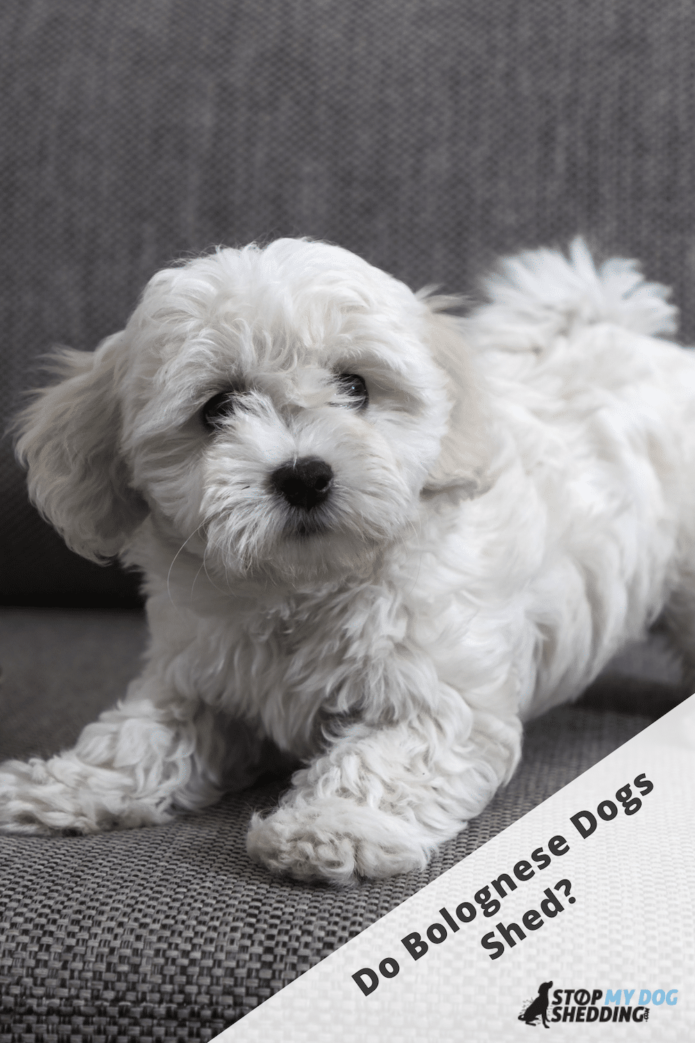 Do Bolognese Dogs Shed? (What You Need to Know)