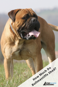Bullmastiff standing on grassed field with tongue poking out.