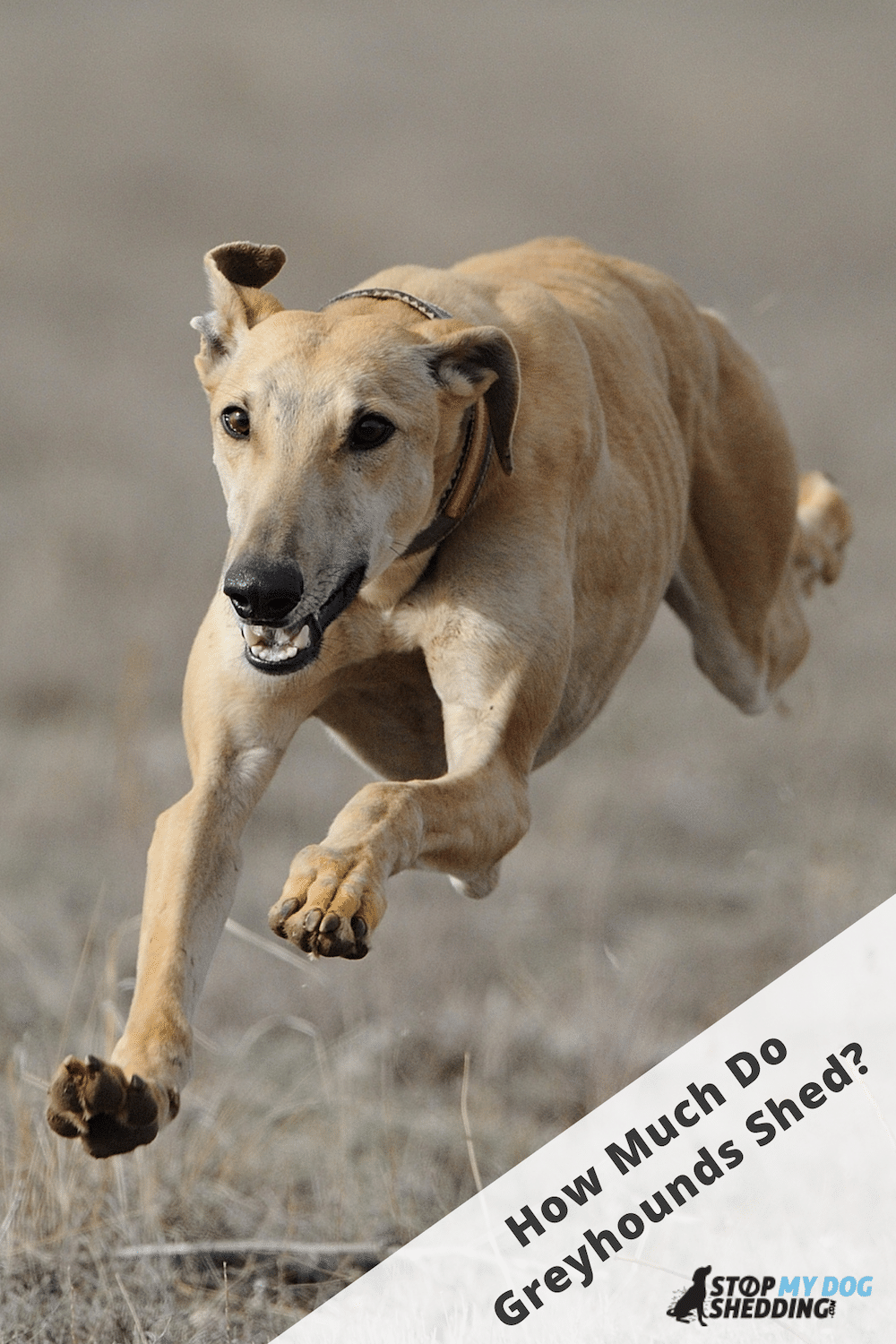 Do Greyhounds Shed Much? (Helpful Shedding Guide)