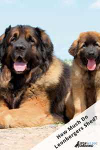 Leonberger laying with puppy Leo in field