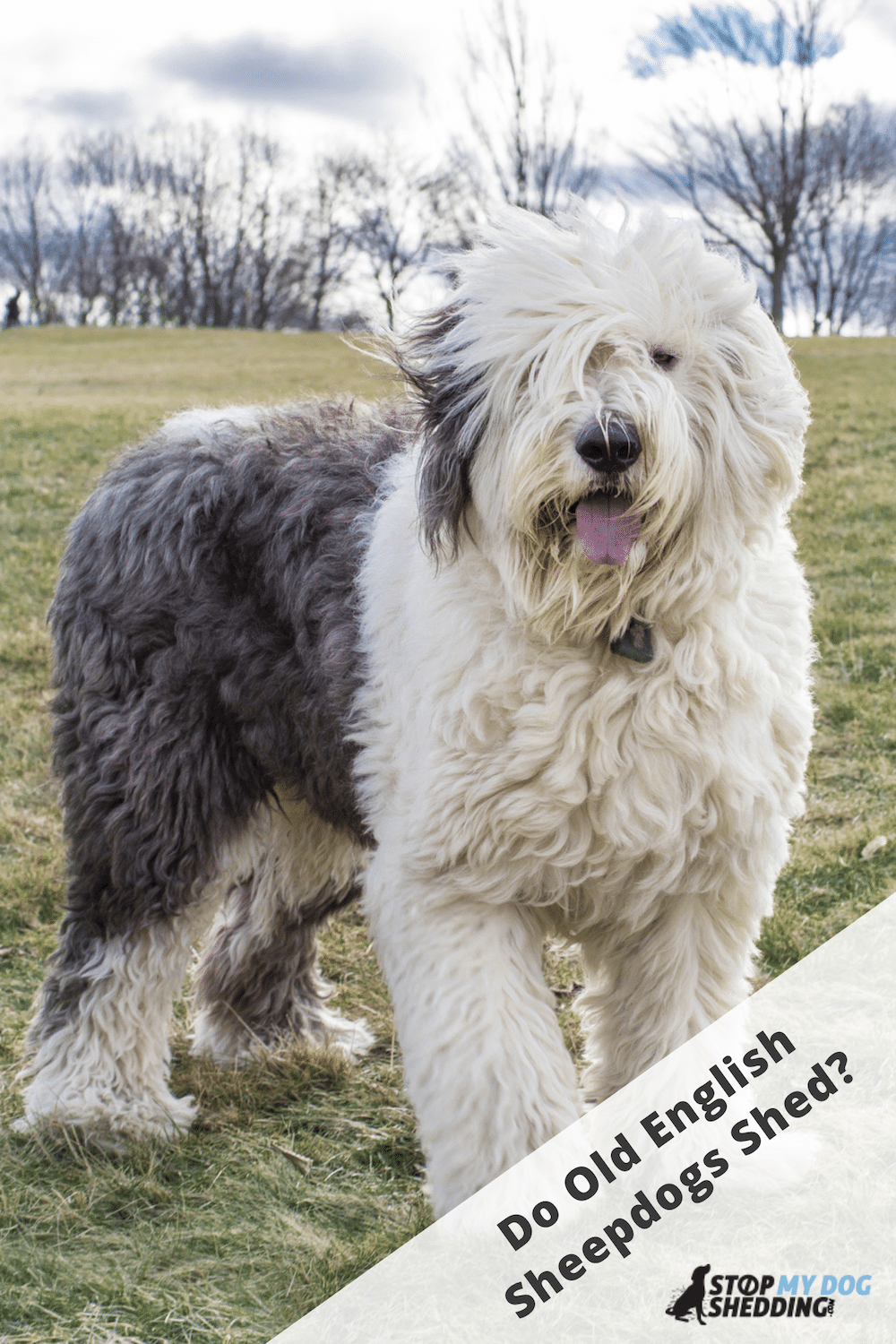 Do Old English Sheepdogs Shed? (OES Shedding Guide)