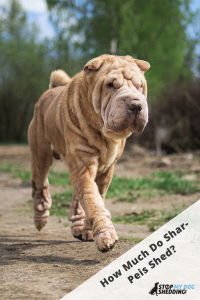 Cute red fawn Shar Pei dog running on country dirt road on spring day with green trees and blue sky on background.