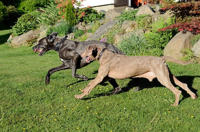 Two Great Danes running on grass.