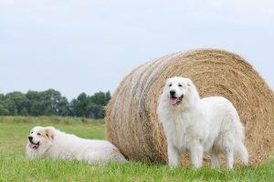 Two livestock guardian dog, Great Pyrenees, lying on stubble field