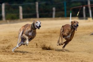 Two Greyhounds racing each other on a dirt track.