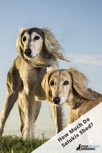 Two Saluki breed dogs on grass.