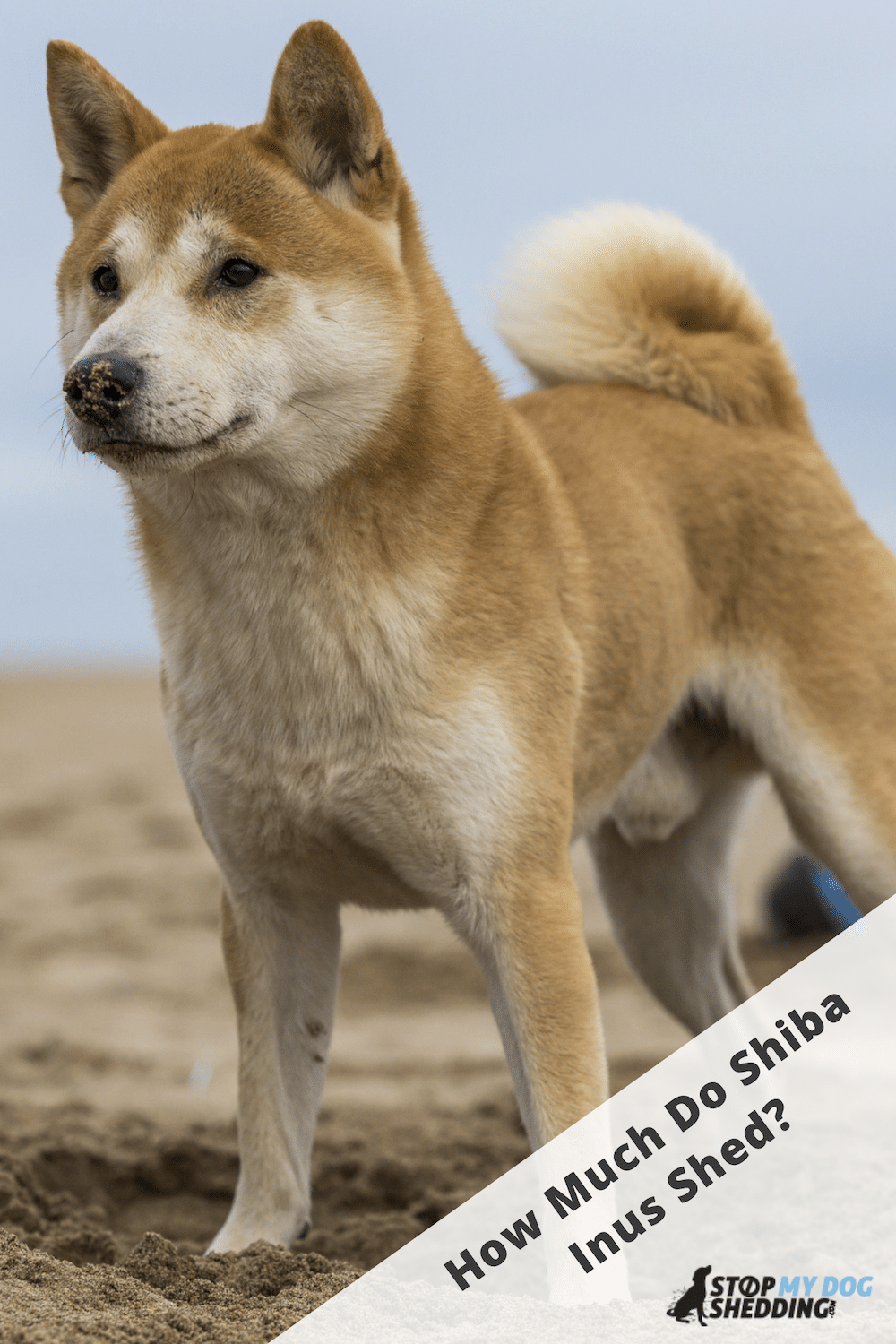 Do Shiba Inus Shed Much? (Here\'s What to Expect)