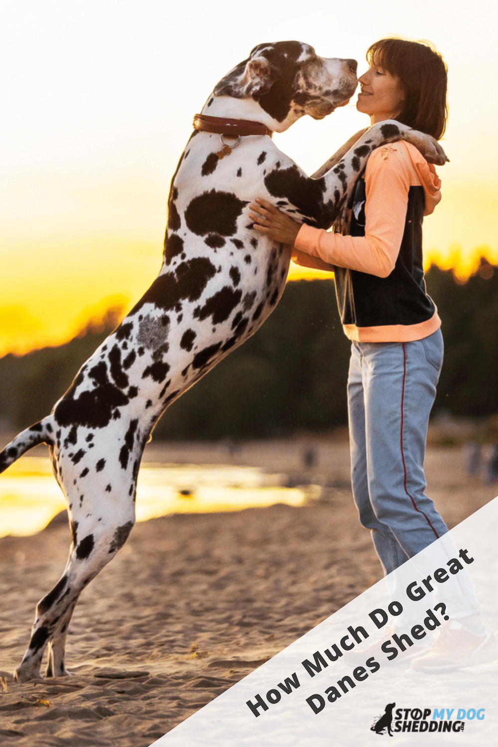 Do Great Danes Shed Much? (All You Need to Know)