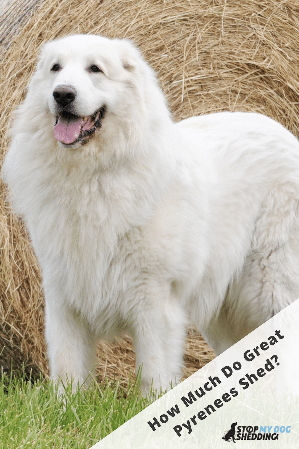 Do Great Pyrenees Shed? (All You Need to Know)