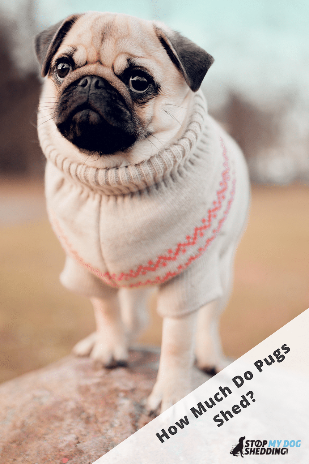 Do Pugs Shed Much? (Helpful Guide to Pug Shedding)