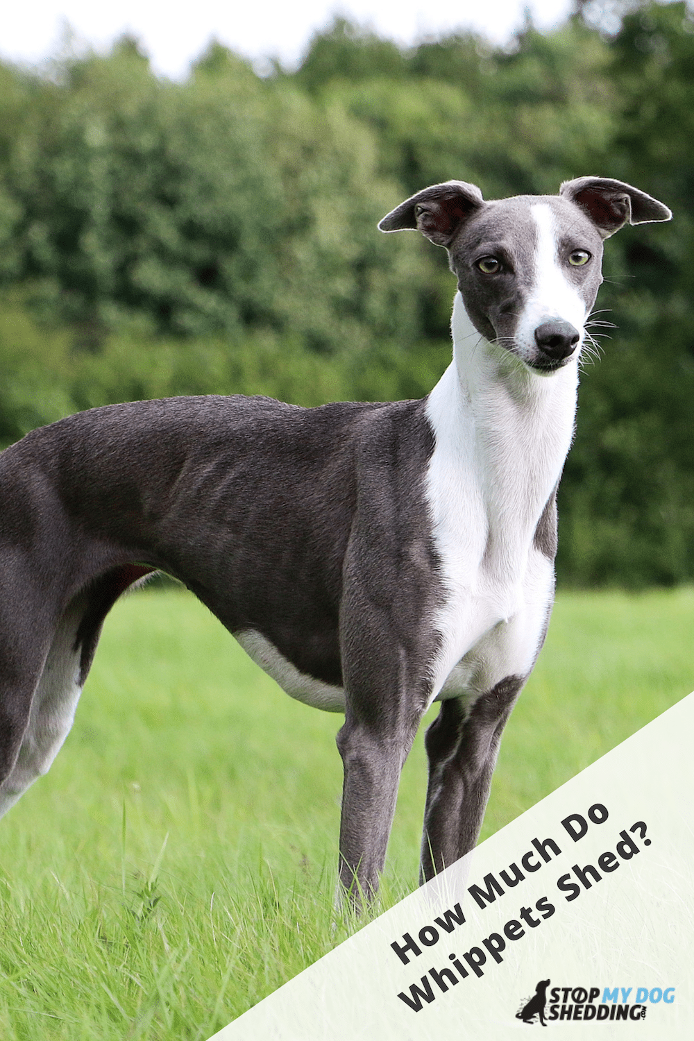 Do Whippets Shed? (All About Whippet Shedding)