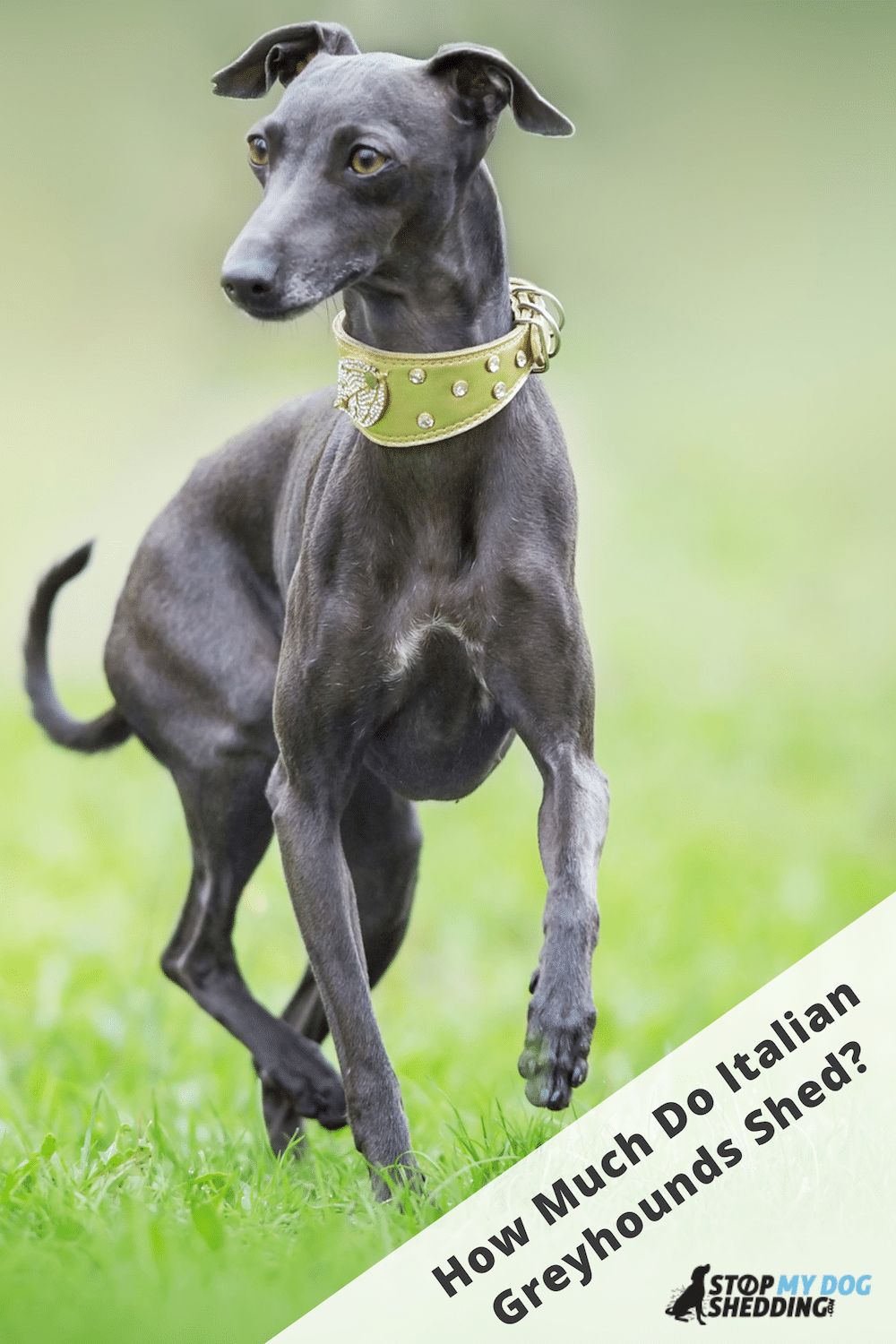 Do Italian Greyhounds Shed? (Complete Shedding Guide)