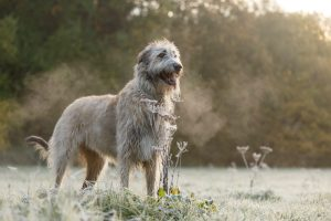 White Irish Wolfhound standing tall in a field with trees in the background.
